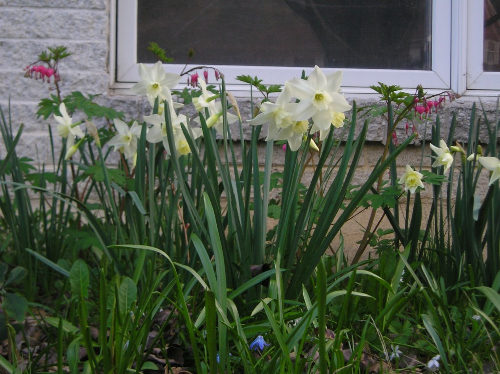 White daffodils and red dicentra