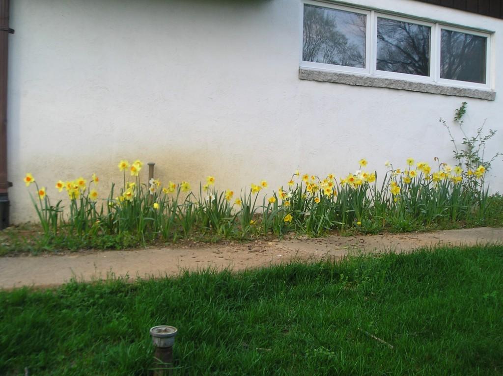 daffodils again