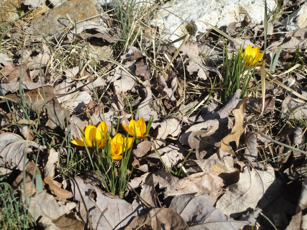 yellow crocuses