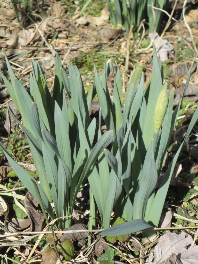 Daffodils beginning to bud