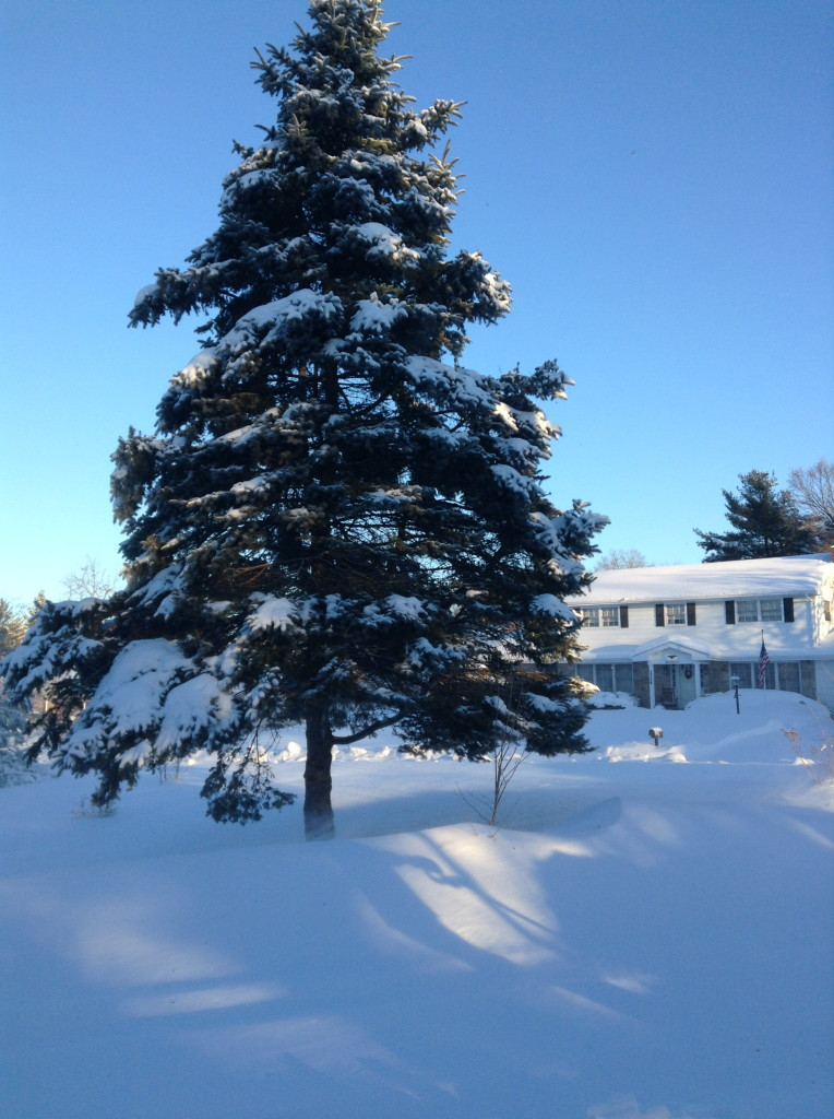 Snow-covered spruce tree