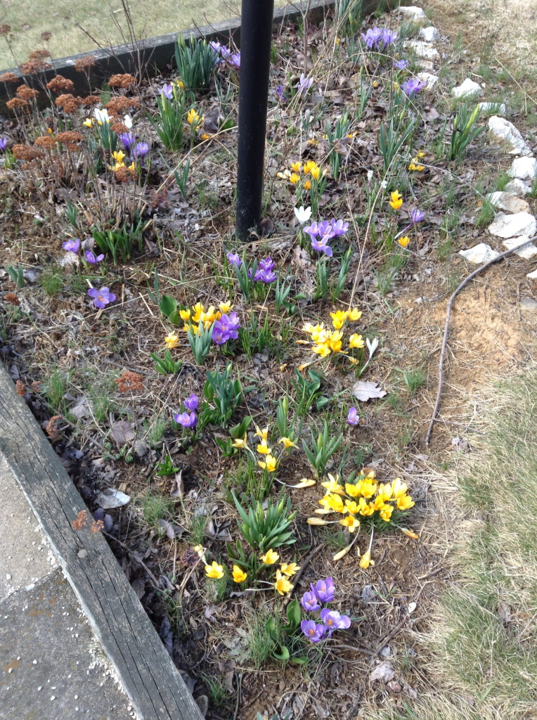 crocuses (or maybe croci)