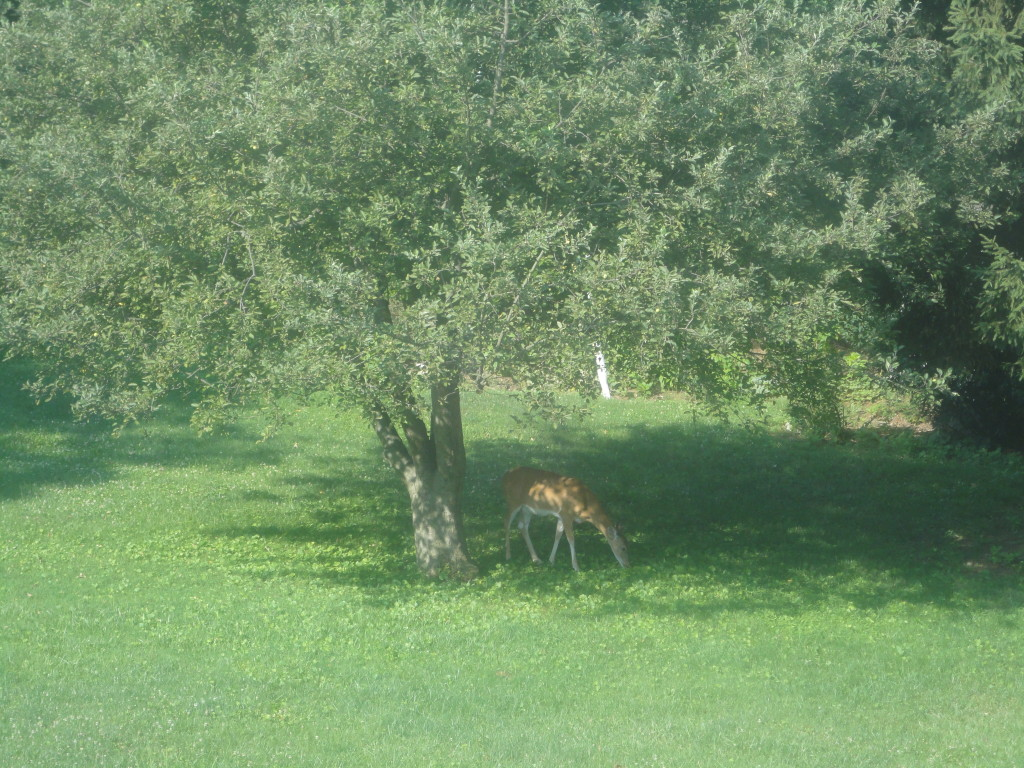 deer under the apple tree