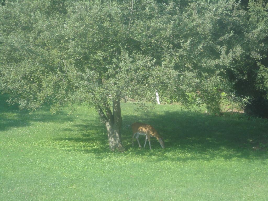deer under the apple tree