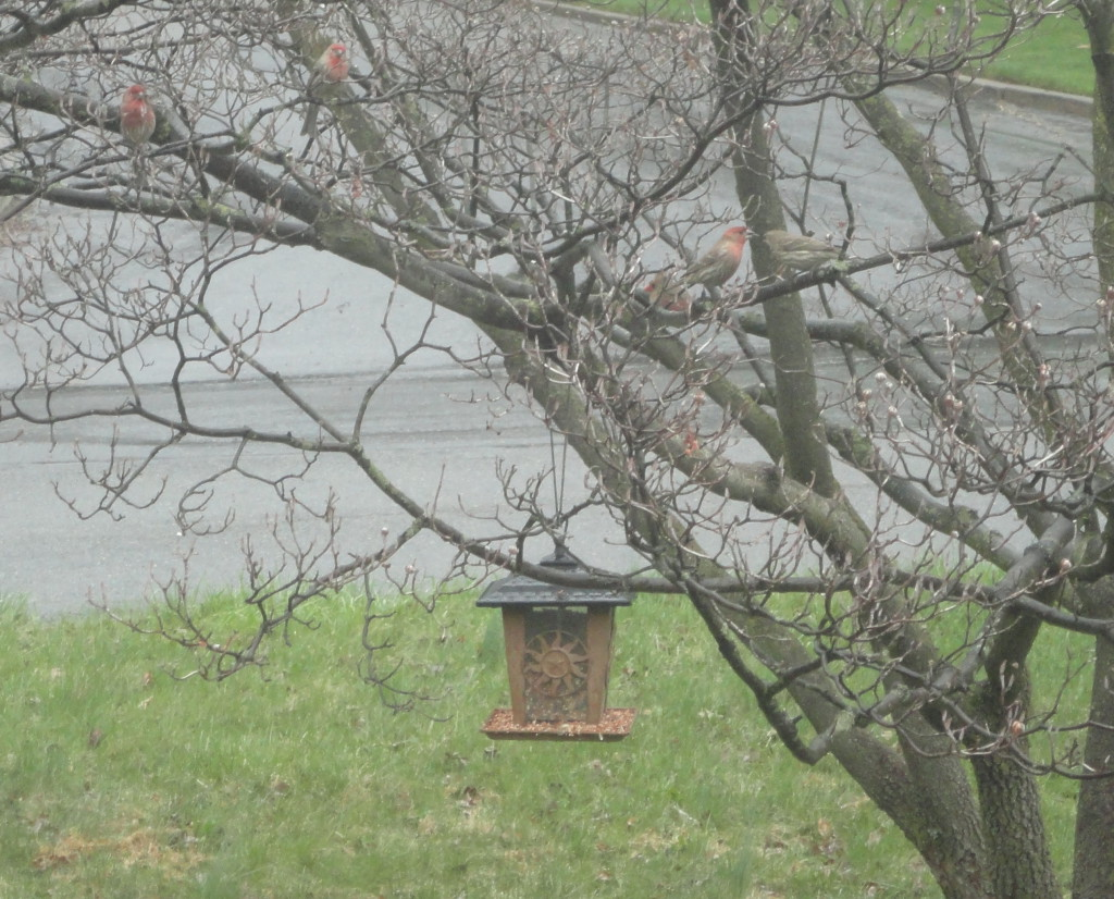 finches in the dogwood