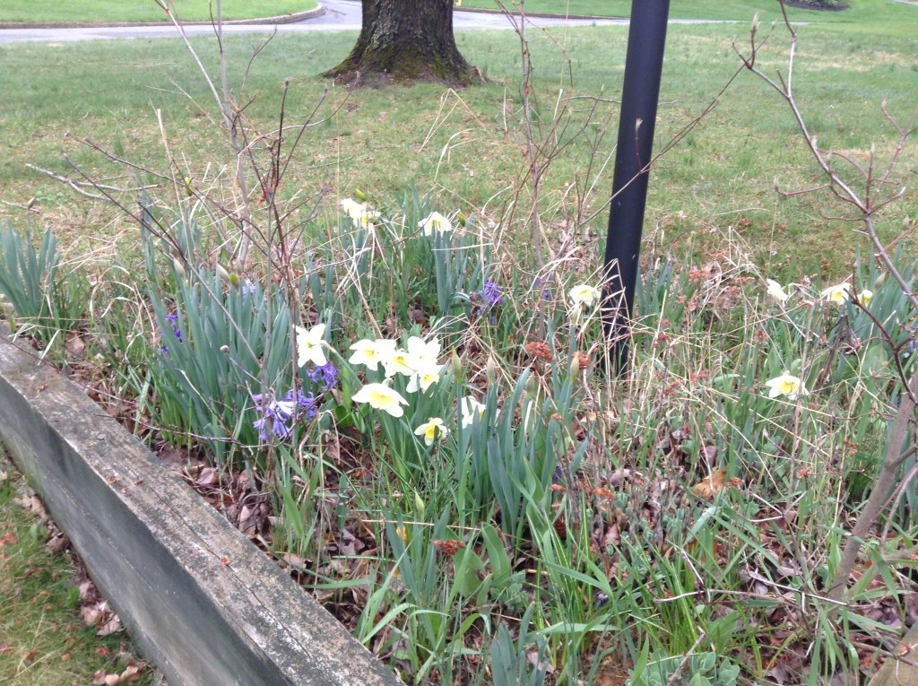Hyacinths and daffodils, where the croci bloomed last week