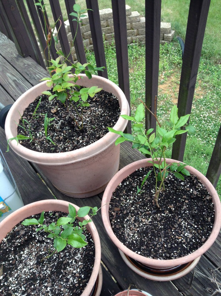 blueberry bushes in pots
