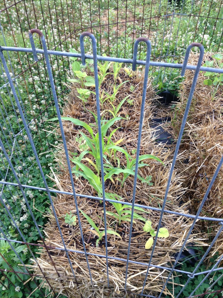 corn and other seedlings in straw