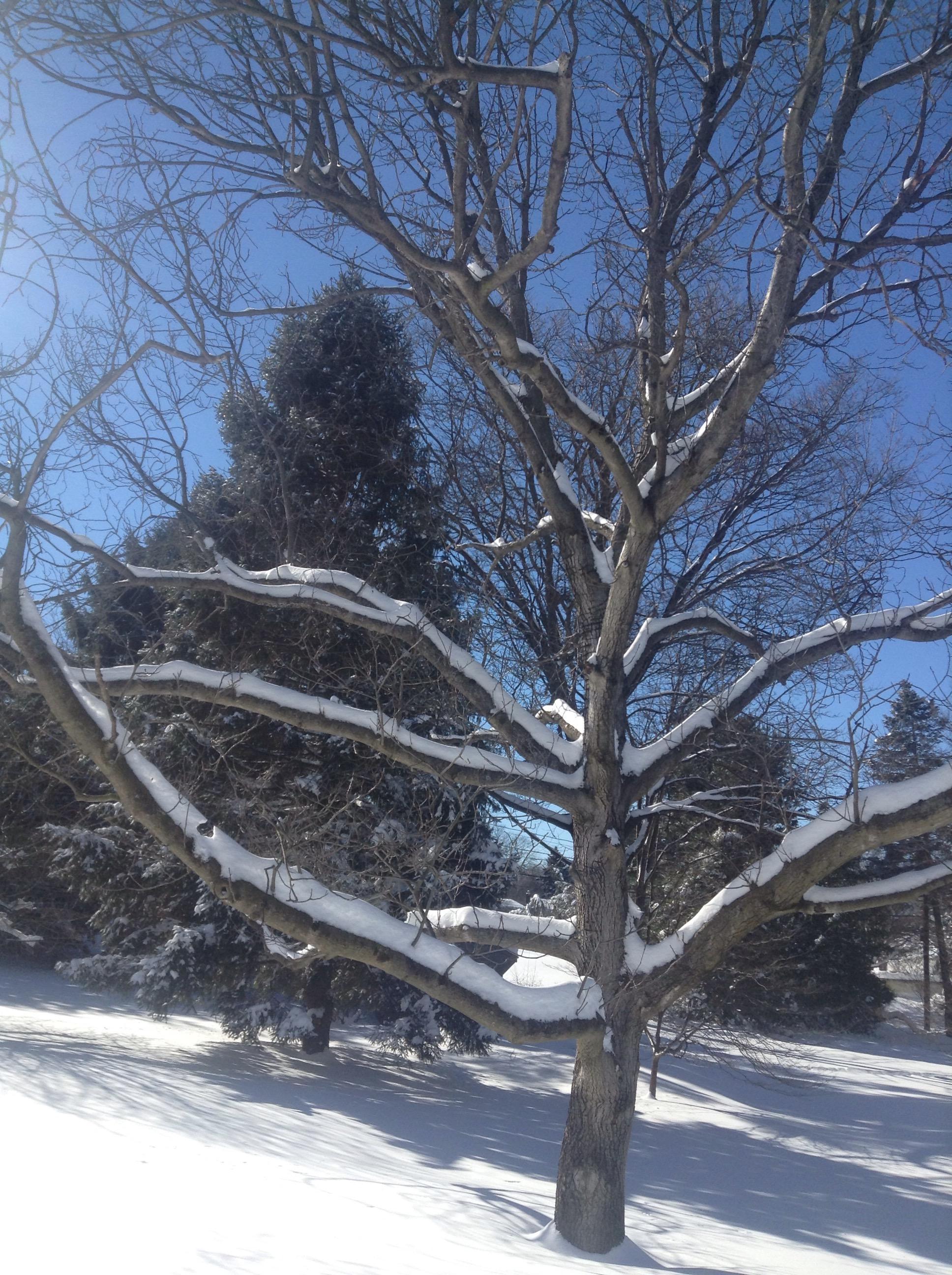 snowy walnut tree