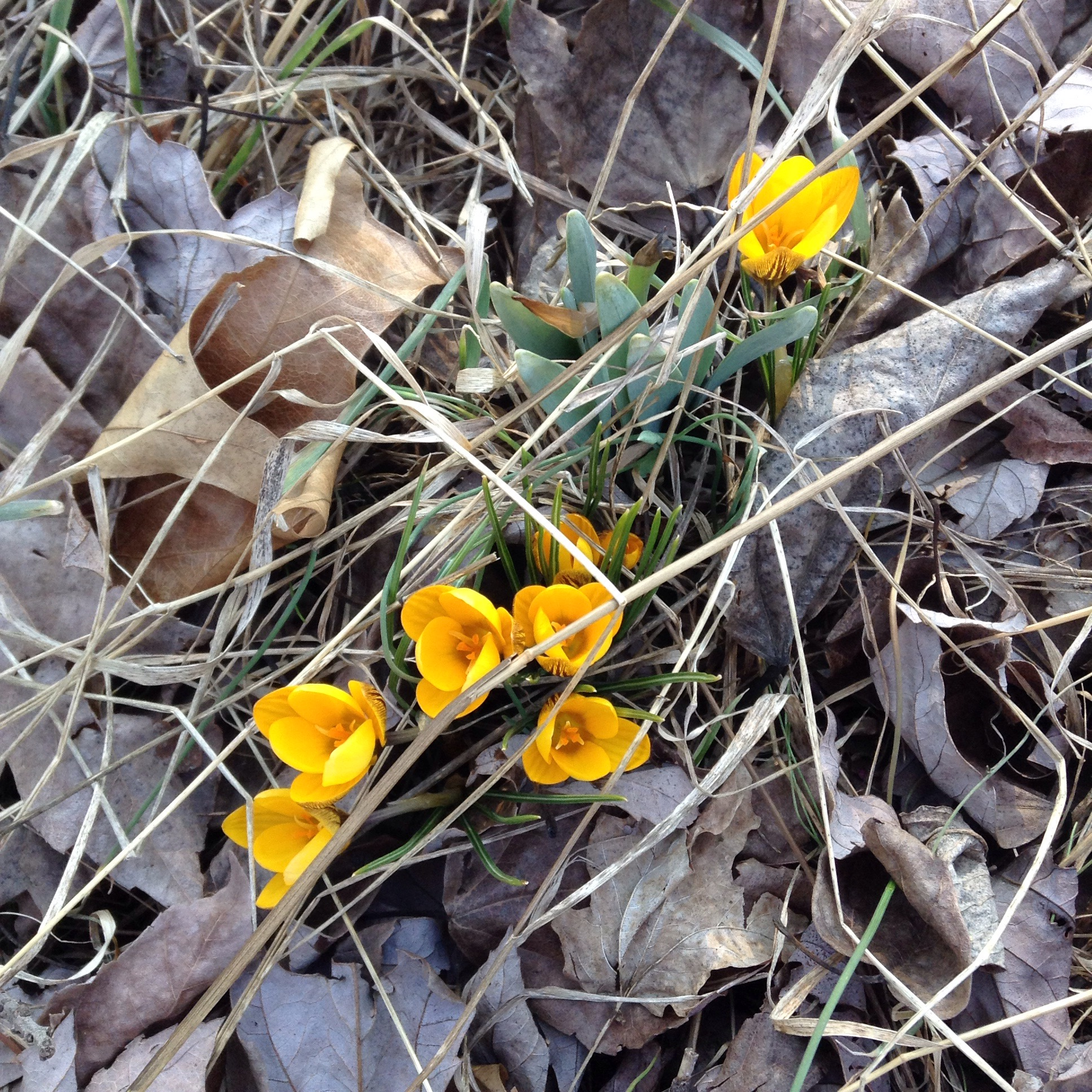 yellow crocus blooming in leaves from last fall