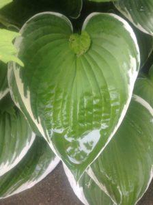 hosta leaf