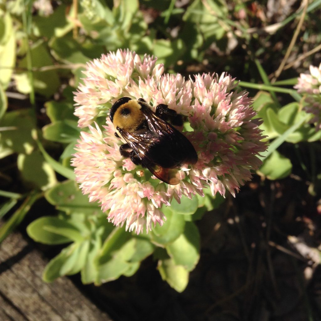 bee on sedum flowers