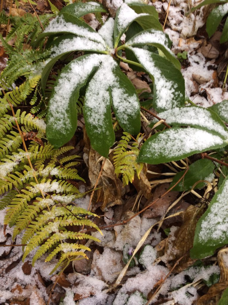fern and hellebore
