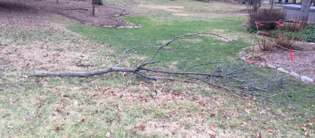 broken walnut branch