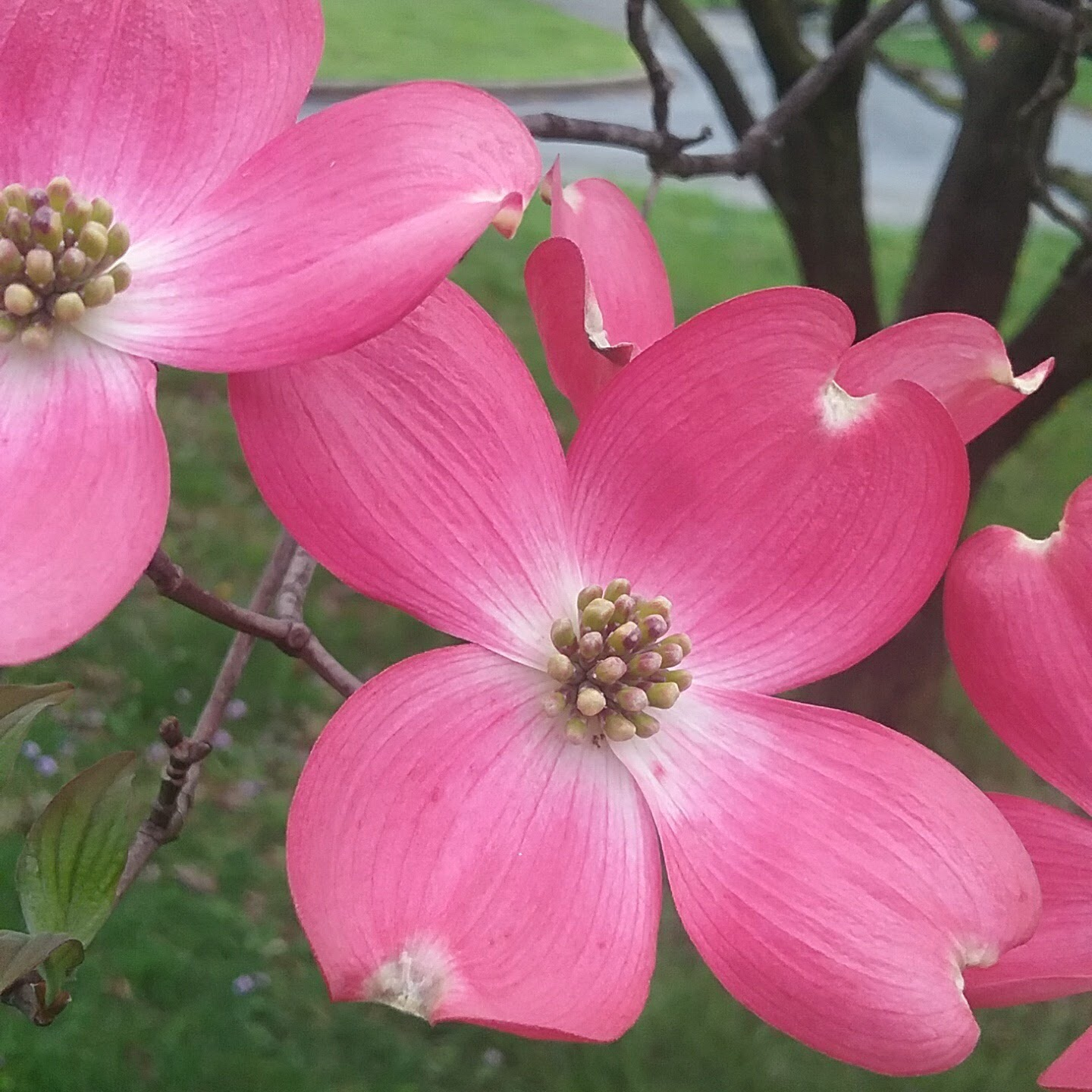 Dogwood blossom close-up
