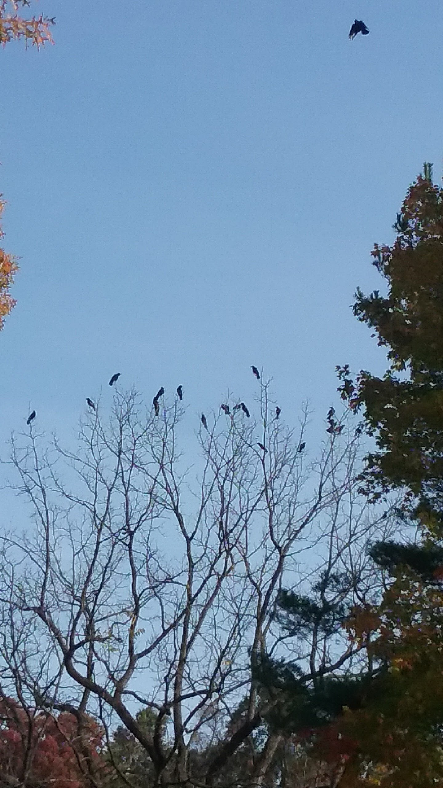 crows in tree and on the wing