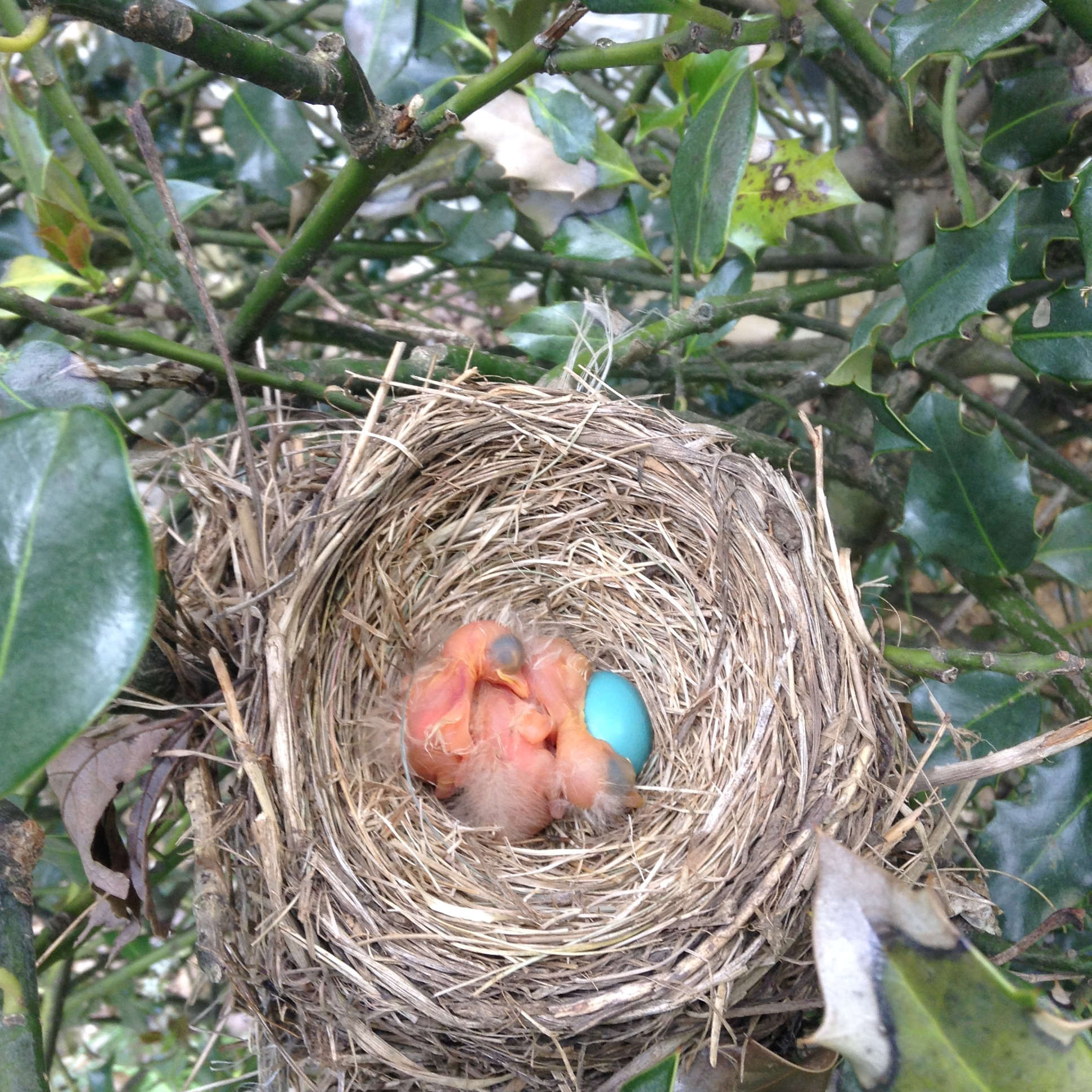 baby robins (plus one egg)
