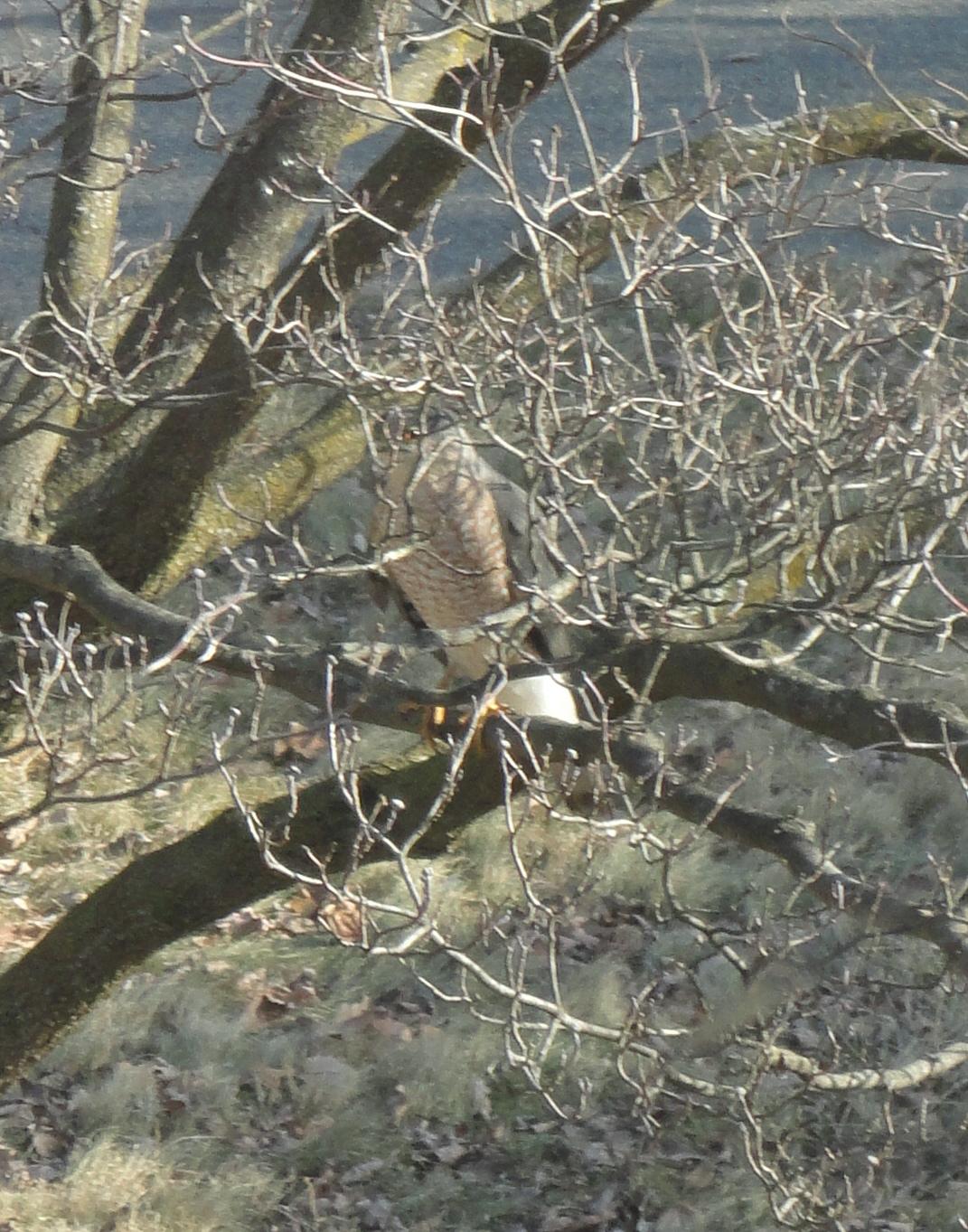 hawk in dogwood