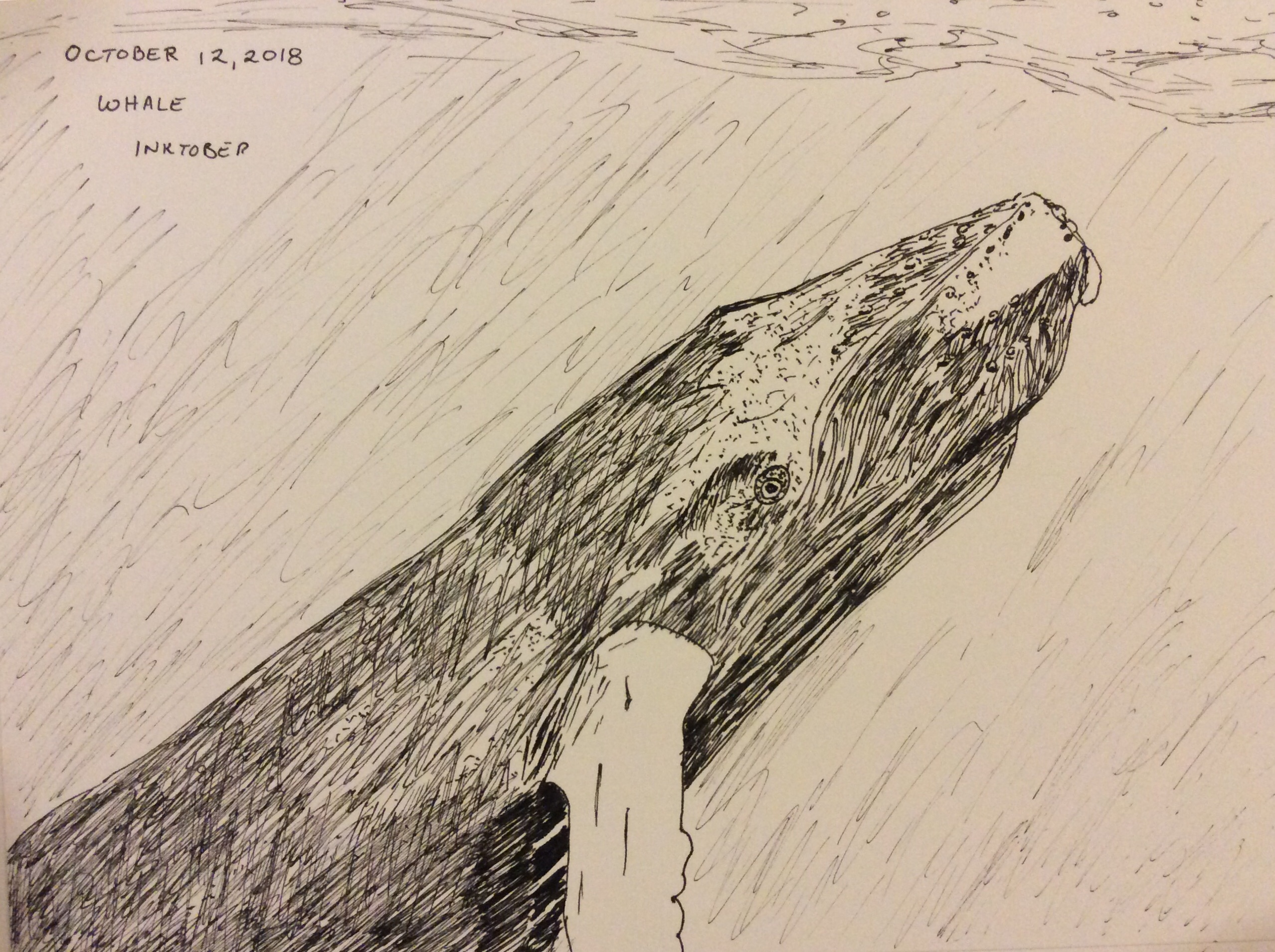 Ink drawing of humpback whale